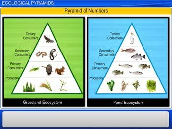 Animated video Lecture for Ecological Pyramids