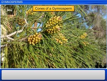 Animated video Lecture for Gymnosperms