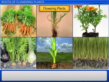 Animated video Lecture for Roots of Flowering Plants