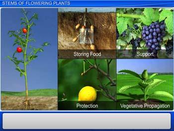 Animated video Lecture for Stems of Flowering Plants
