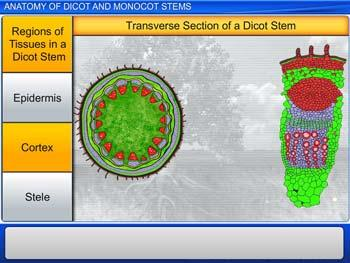 Animated video Lecture for Anatomy of Dicot and Monocot Stems