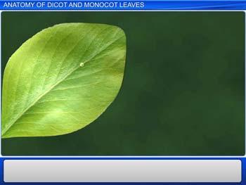Animated video Lecture for Anatomy of Dicot and Monocot Leaves