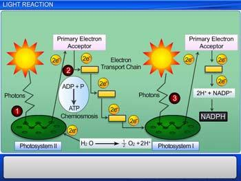 Animated video Lecture for Light Reaction