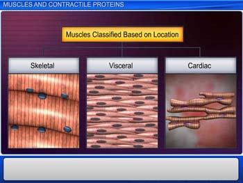 Animated video Lecture for Muscles and Contractile Proteins